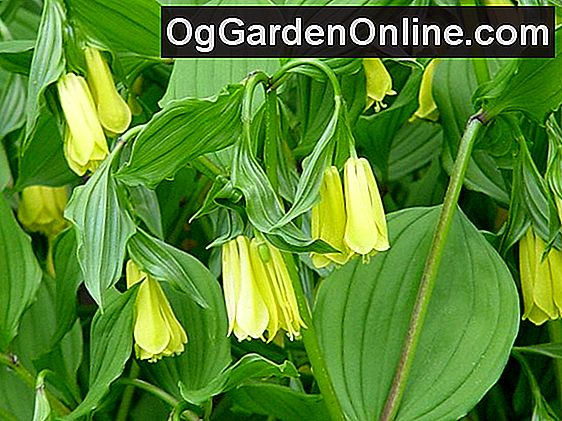 Woodland Fairy-Bells - Die Genus Disporum