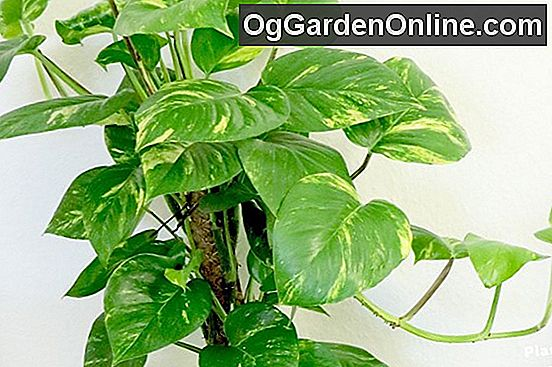 Philodendrons - Im Rampenlicht der Creepers