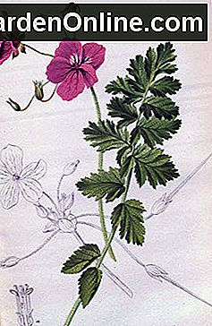 Exquisite Erodien: Erodium