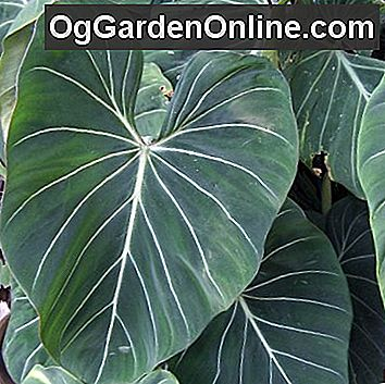 Philodendrons - Im Rampenlicht der Creepers: pflanze