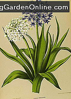 Stalking the Giant Squill: giant
