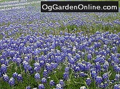 Texas Bluebonnets sind hier: Texas