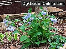 Virginia Bluebells (Mertensia Virginica): mertensia
