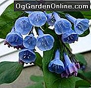 Virginia Bluebells (Mertensia Virginica): Virginia