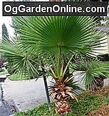 Washingtonia Palms: Wunder oder Unkraut?: palms