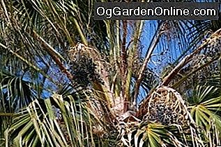 Washingtonia Palms: Wunder oder Unkraut?: washingtonia