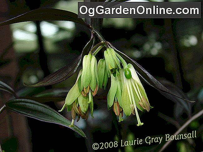 Woodland Fairy-Bells - Die Genus Disporum: fairy-bells