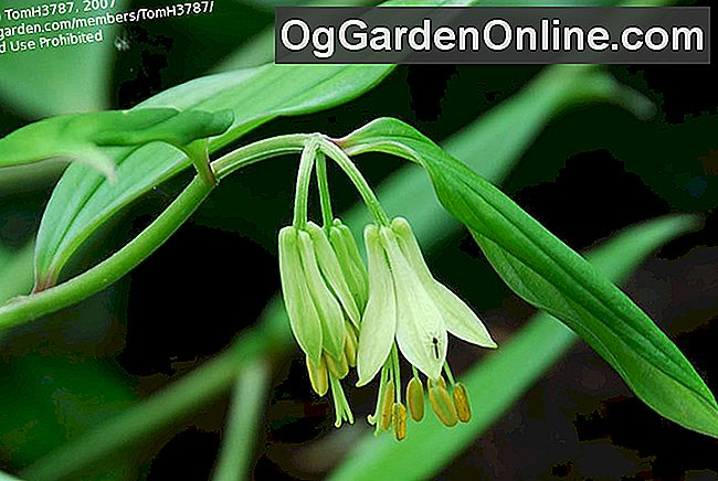 Woodland Fairy-Bells - Die Genus Disporum: genus